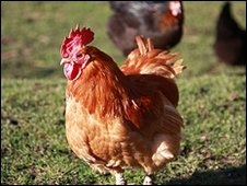 Archive picture of chickens