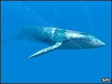 Blue Whale - Science Photo Library