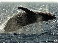 Humpback whale (AP)
