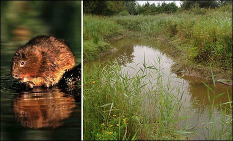 Water Vole and land at Berwick in Llanelli cleared as part of the project
