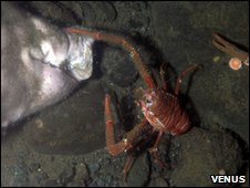 Dead pig with scavenging crab