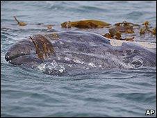 Gray whale (Image: AP)