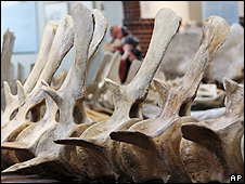 Whale skeleton (Image: AP)