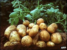 BASF's Amflora potatoes