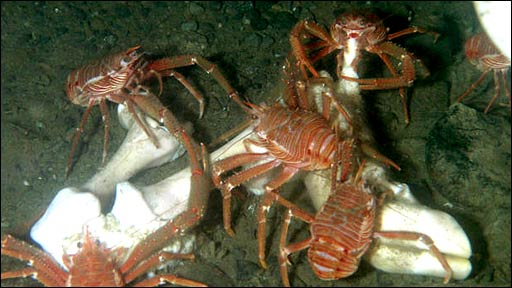 Lobster scavenging on marine creature (Venus)