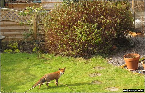 urban fox in Rhyl garden, by duckinwales