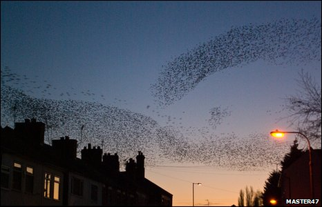 starlings over Rhosddu Road, Wrexham by Master47