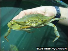 Blue Swimmer Crab