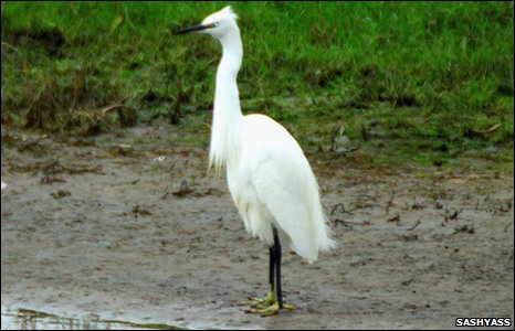 A little egret at Connah's Quay Nature Reserve, by Sashyazz