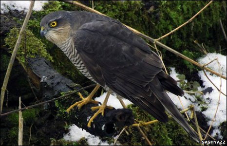 A sparrowhawk looking for breakfast at Bodelwyddan, by Sashyazz