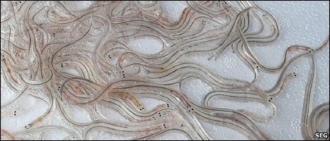 Glass eels (Image: Sustainable Eel Group)