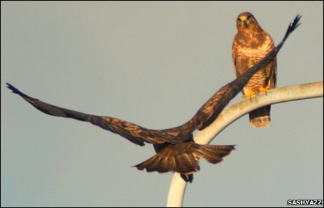 Buzzards on a lamp-post in Wrexham, by Sashyazz