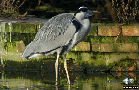 A heron on the hunt at Greenfield Valley Heritage Park, by Sashyazz