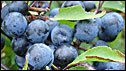 Sloe berries - aka bullums