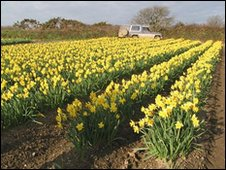Daffodils at New Generation Daffodils in Camborne, Cornwall