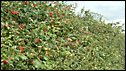 Top of a hedge = kone
