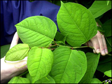 Japanese knotweed (image:PA)
