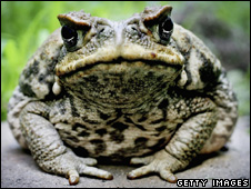 Cane toad (Getty Images)