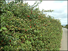 Hedge with summer berries