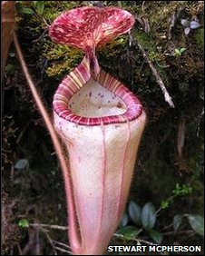 The pitcher of Nepenthes pilosa, a very rare species of pitcher known only from the slopes of one mountain in Kalimantan, Borneo. This plant has been observed and studied only once since discovered more than a century ago