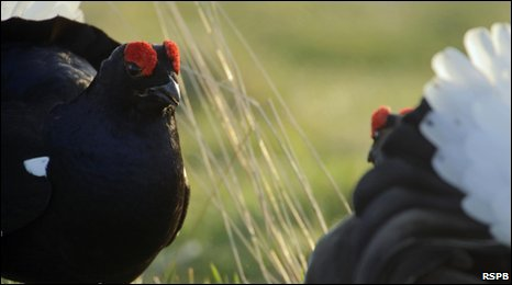 Black grouse love dance, otherwise known as lekking