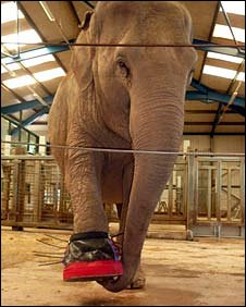 Gay, who had severe foot abscesses and arthritis, joined the zoo in 1977