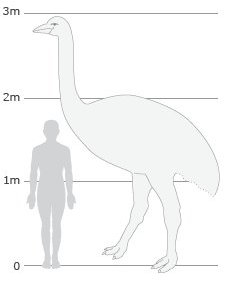 Elephant bird size graphic
