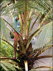 Toddy tapper in Kerala