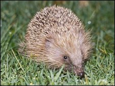 Hedgehog numbers are in decline in the capital