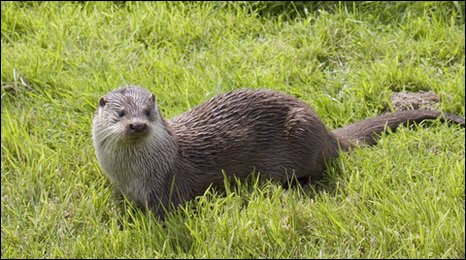 Otters have been sighted in London's rivers but remain under threat