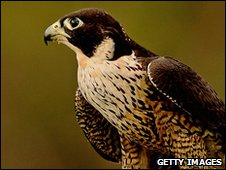 Peregrine Falcons have been breeding in London