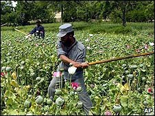 Afghan officials destroy opium poppies - 2007