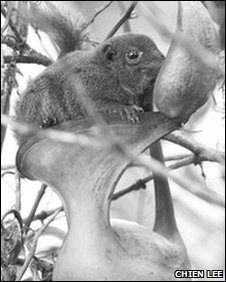 Tree shrew enjoying the nectar of a N. lowii pitcher