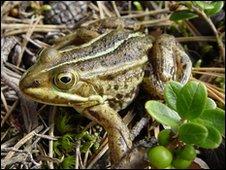 Frog (generic)