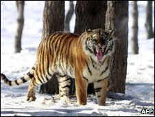 File image of a Siberian tiger at a tiger park in China