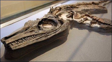 An ichthyosaur skeleton at Lyme Regis Museum