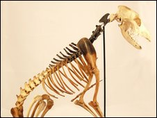 Skeleton of Mary Rose dog