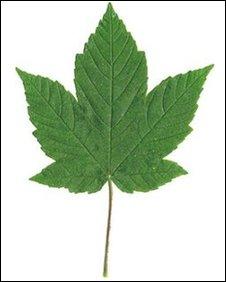 Sycamore leaf logo