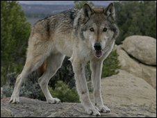 Generic pic of wolf
