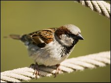 Male House Sparrow on a rope