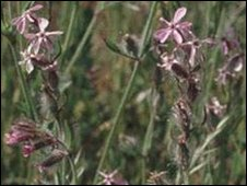The small flowered catchfly