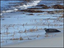 Seal on Westray