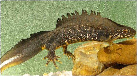 Great crested newt, photo by Jim Foster