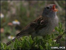 Male Worthen's sparrow