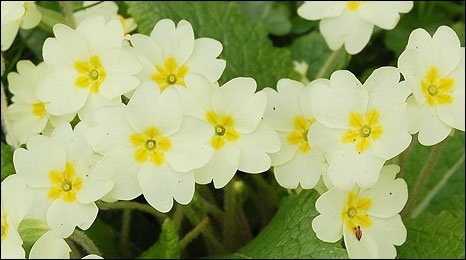 Primroses in Broadhembury