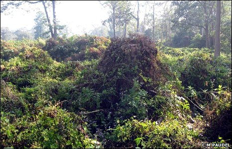 The invasive creeperMikenia Micrantha which is damaging national parks in Nepal