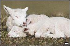 羊,sheep,lamb