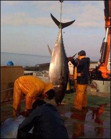 Tuna ranching
