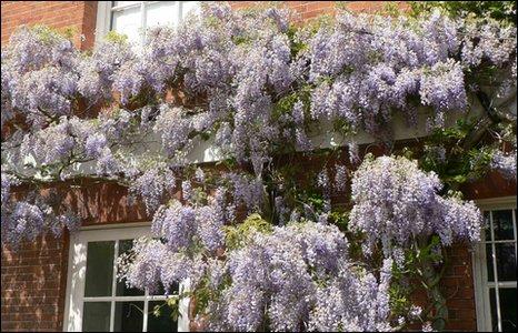 Wisteria flowering