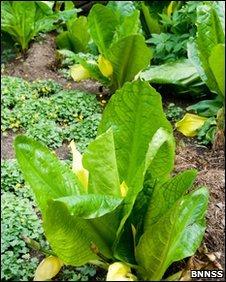 American Skunk-cabbage